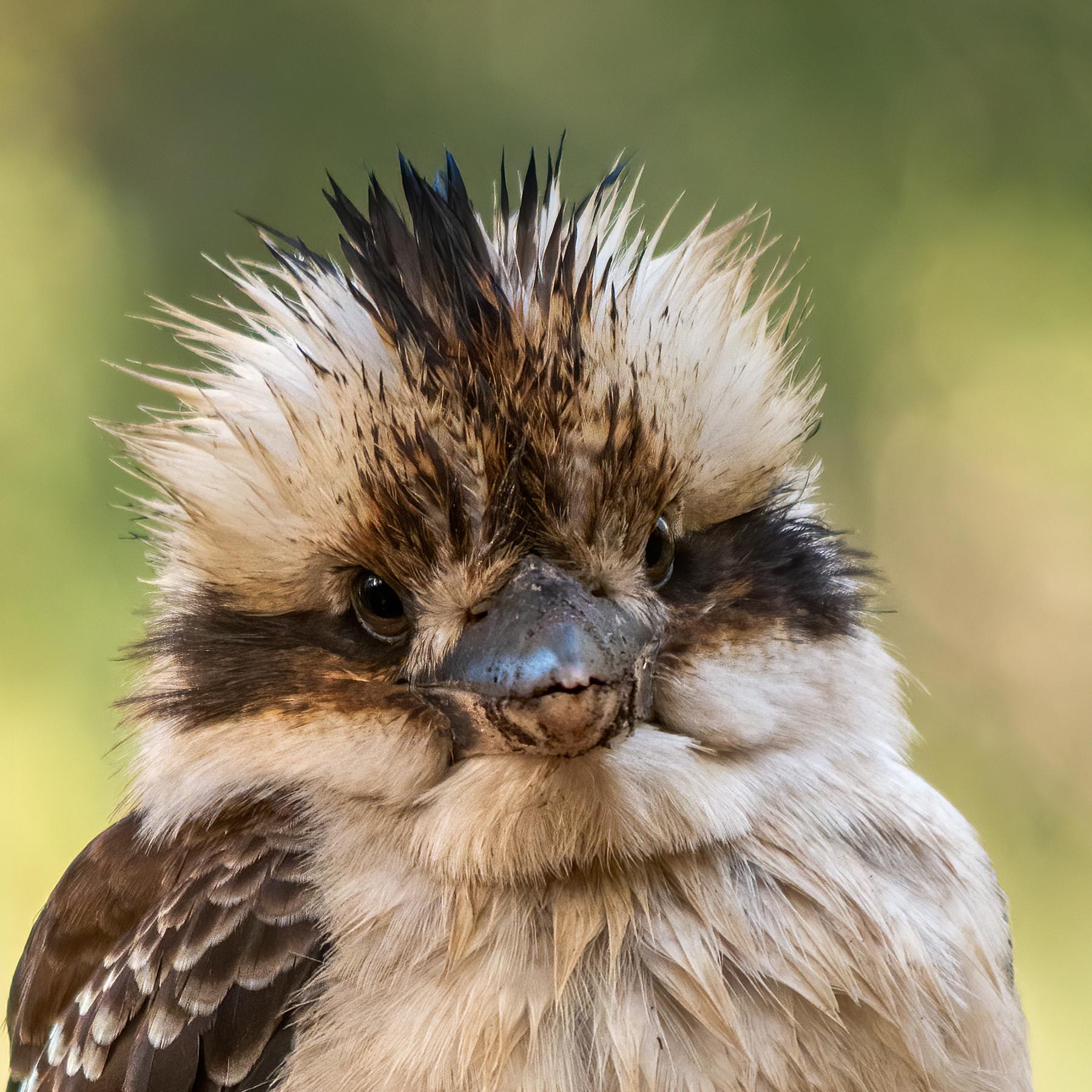 Laughing Kookaburra (Image ID 41314)