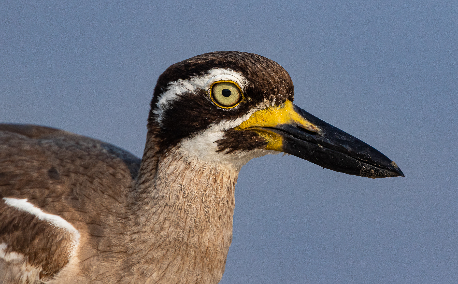 Beach Stone-curlew (Image ID 41413)