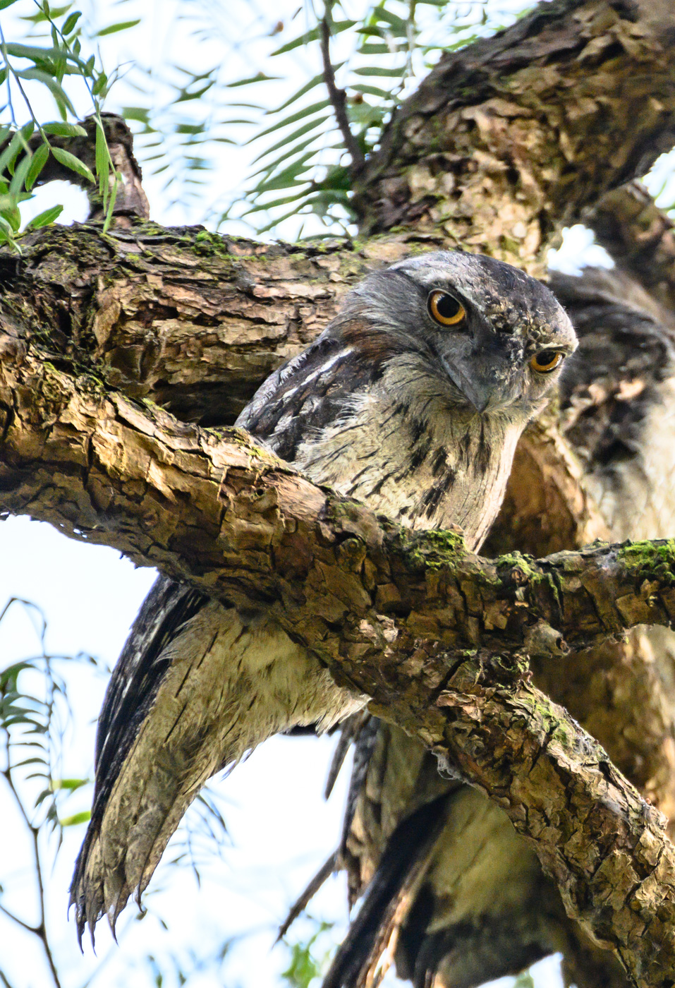 Tawny Frogmouth (Image ID 41103)