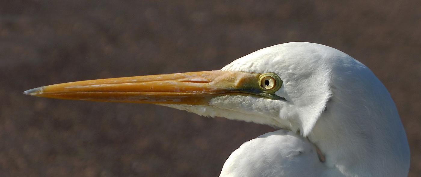 Great Egret (Image ID 41415)
