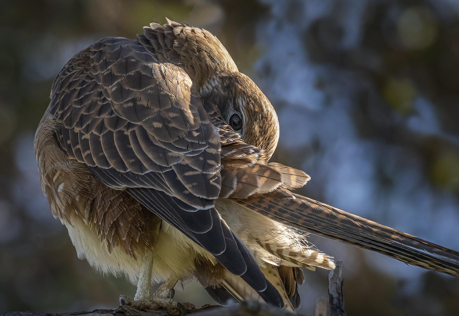 Brown Falcon (Image ID 41149)