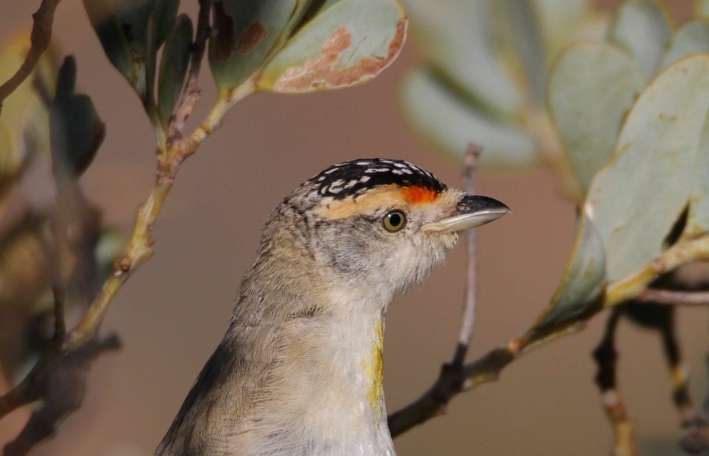 Red-browed Pardalote (Image ID 41568)