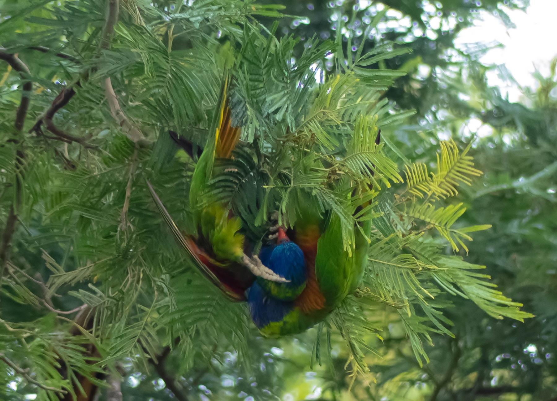 Rainbow Lorikeet (Image ID 41248)