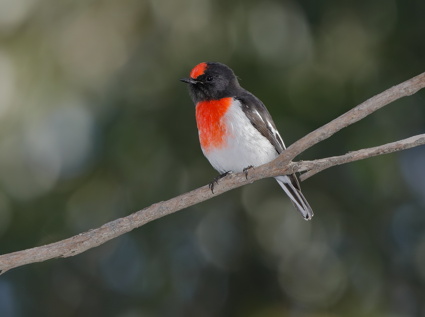 Red-capped Robin (Image ID 41291)
