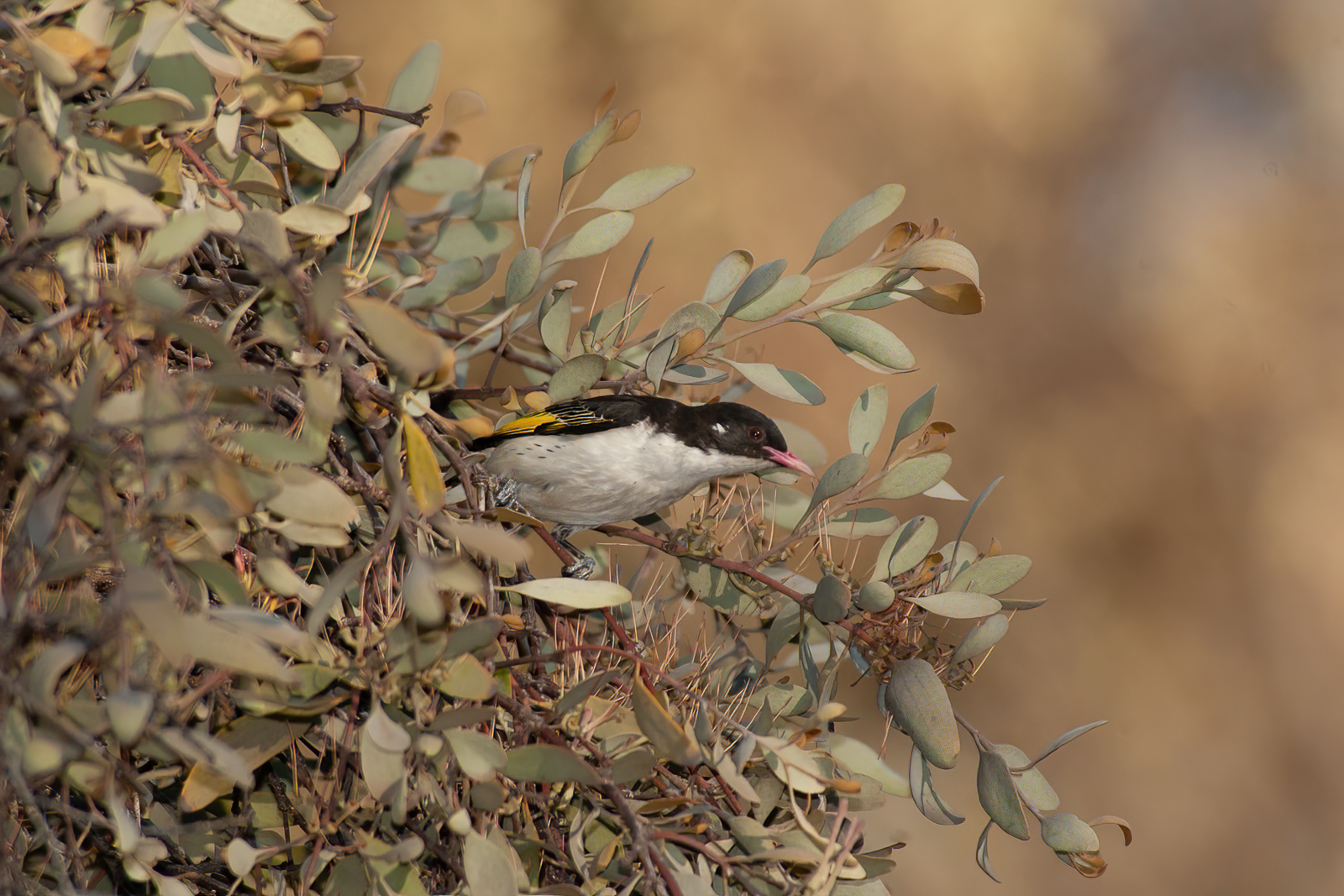 Painted Honeyeater (Image ID 41252)