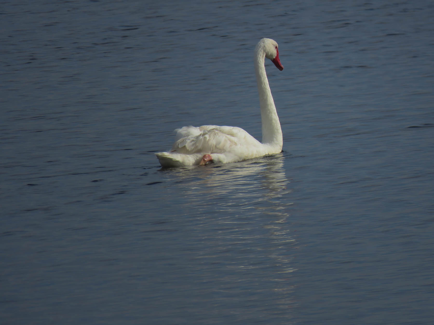 Black Swan (Image ID 41223)