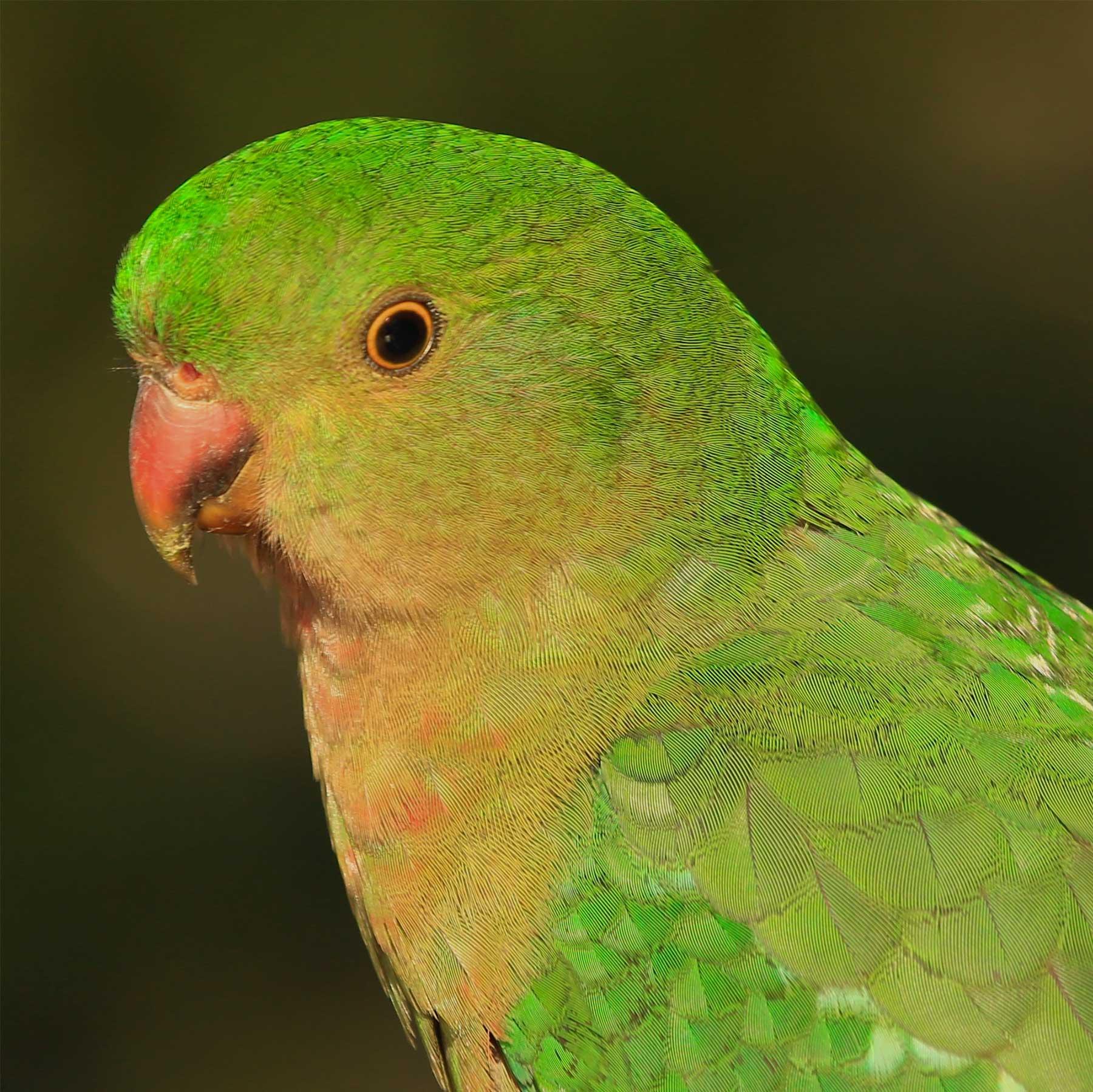 Australian King-Parrot (Image ID 41181)