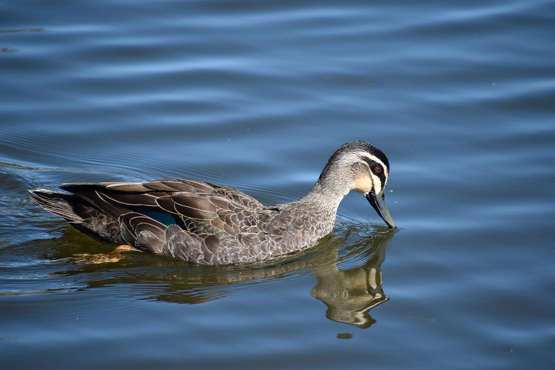 Pacific Black Duck (Image ID 41495)