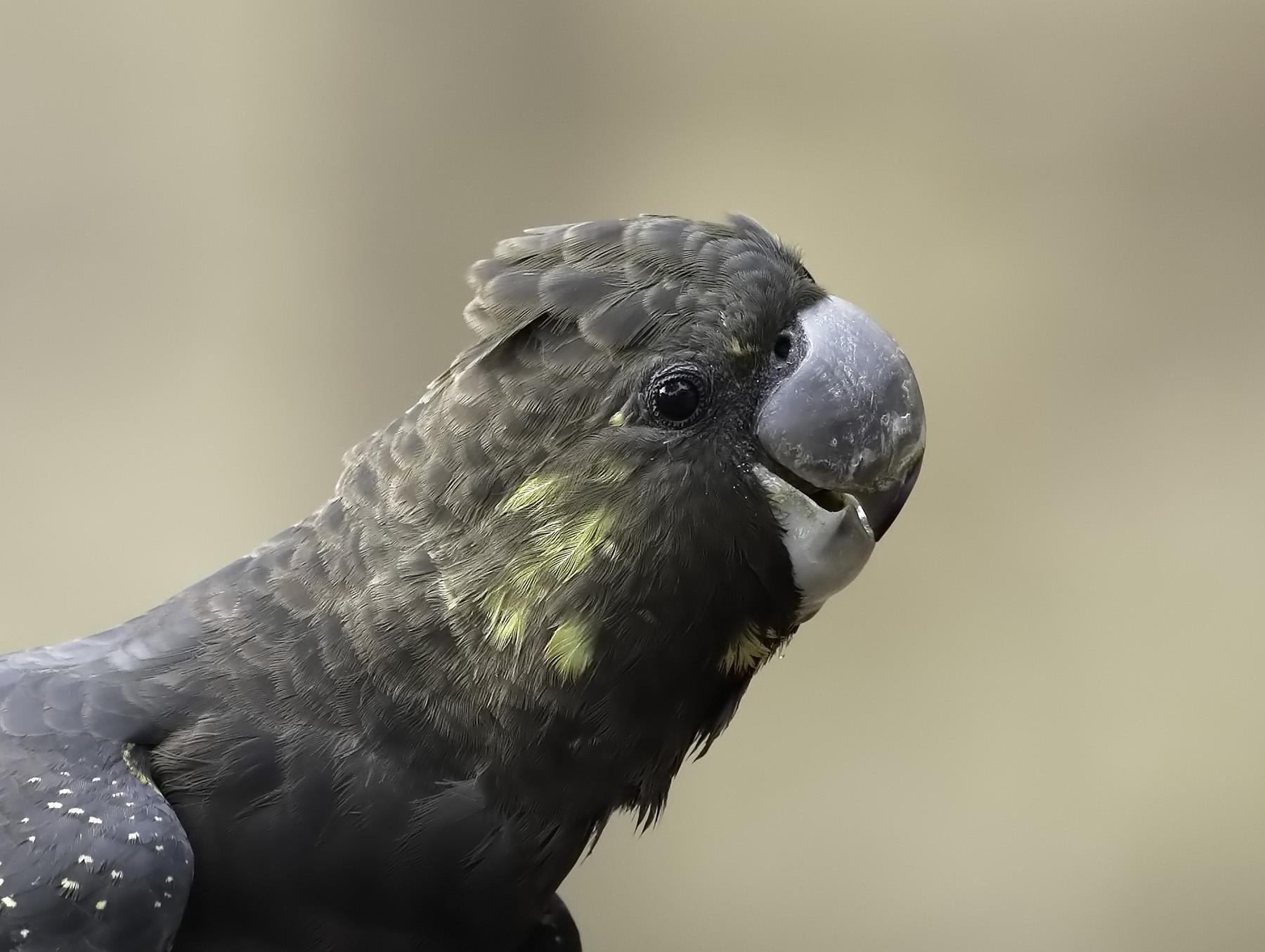 Glossy Black-Cockatoo (Image ID 41202)