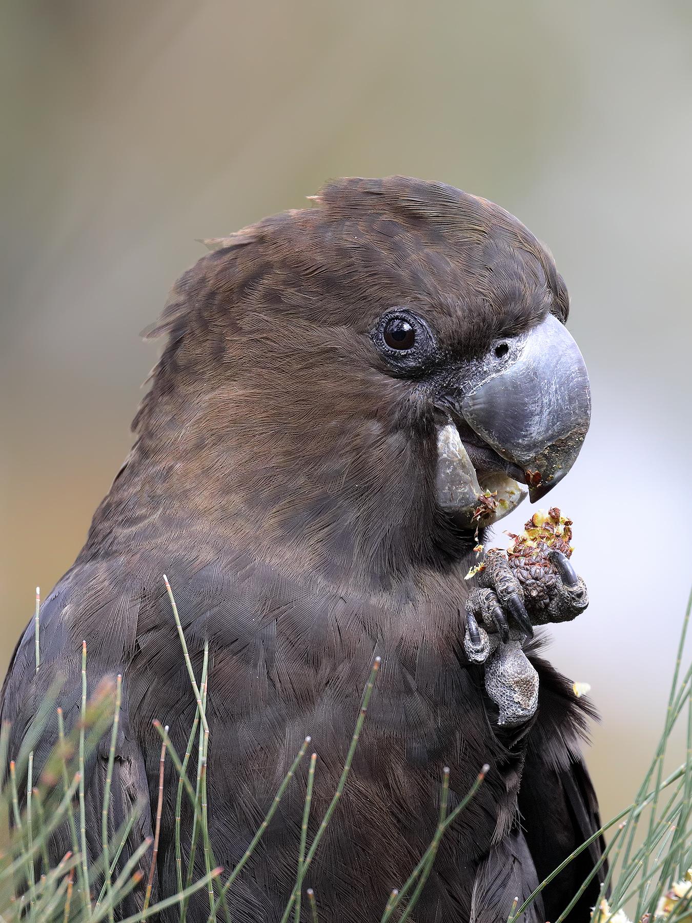 Glossy Black-Cockatoo (Image ID 41173)