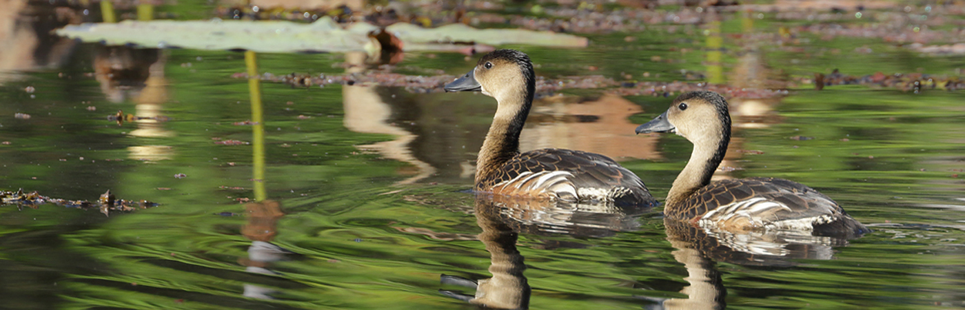 Wandering Whistling-Duck (Image ID 41186)