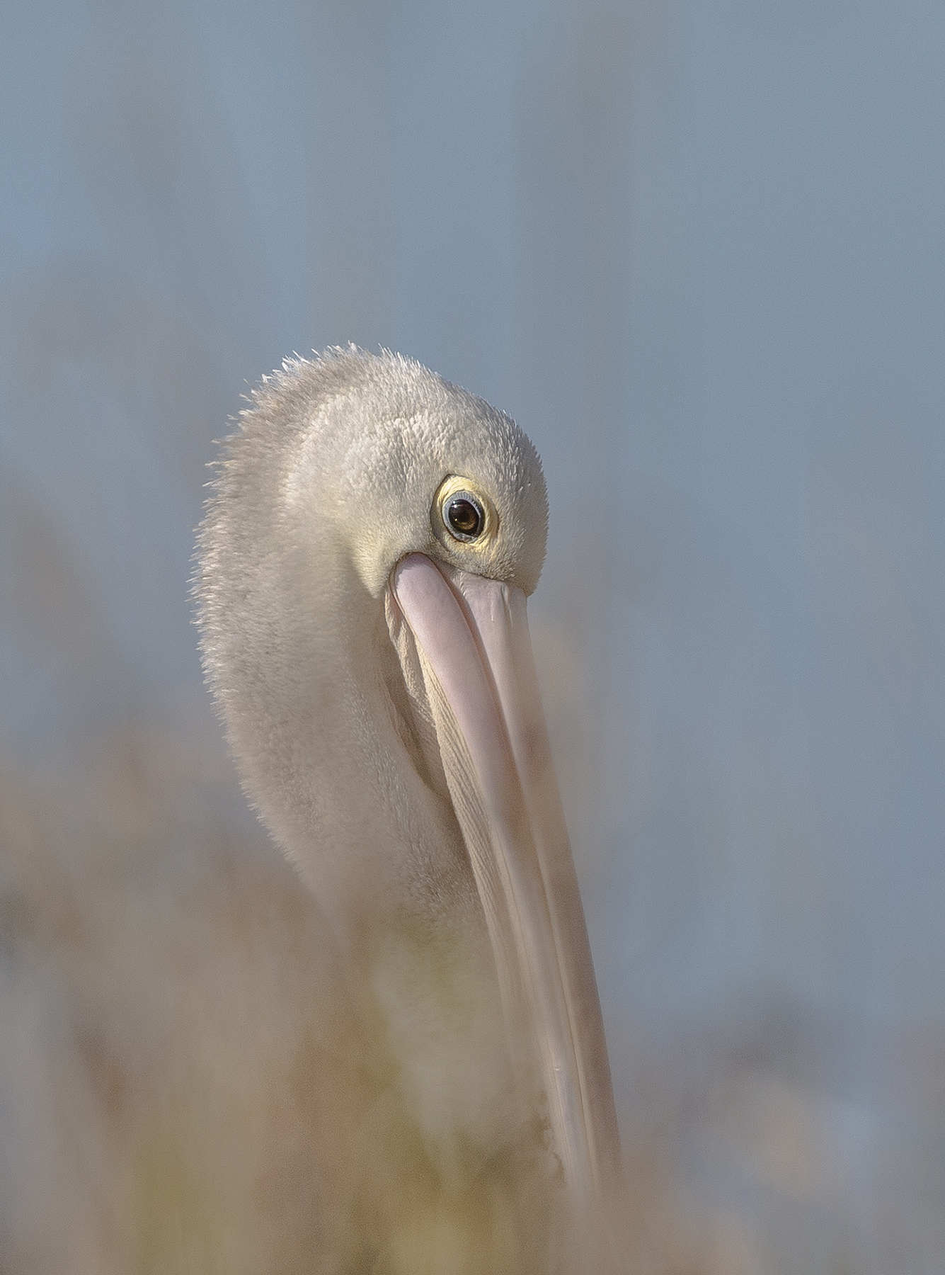 Australian Pelican (Image ID 41418)