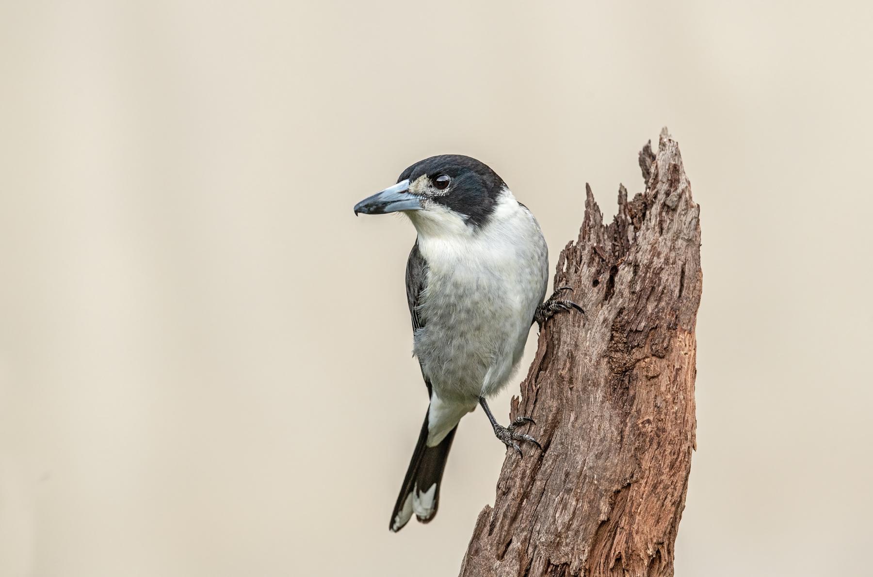 Grey Butcherbird (Image ID 41110)