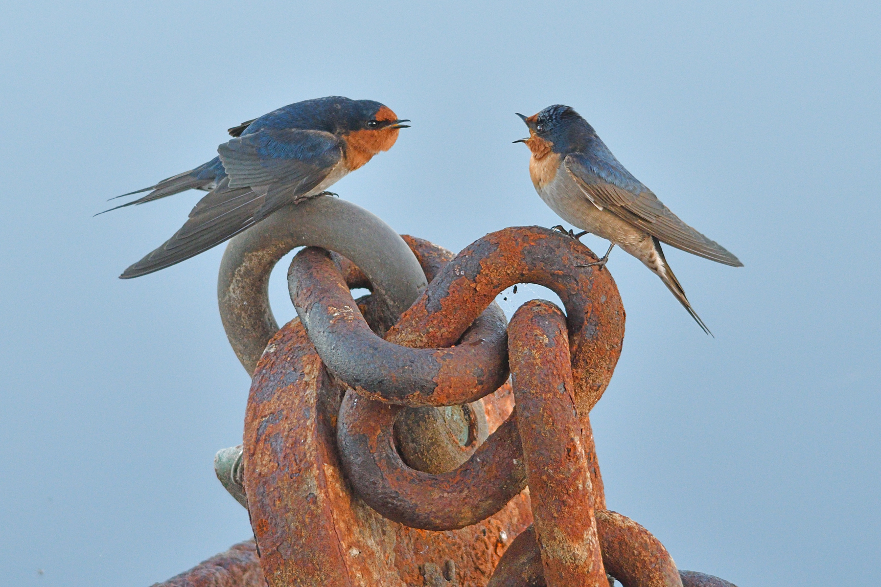 Welcome Swallow (Image ID 41190)