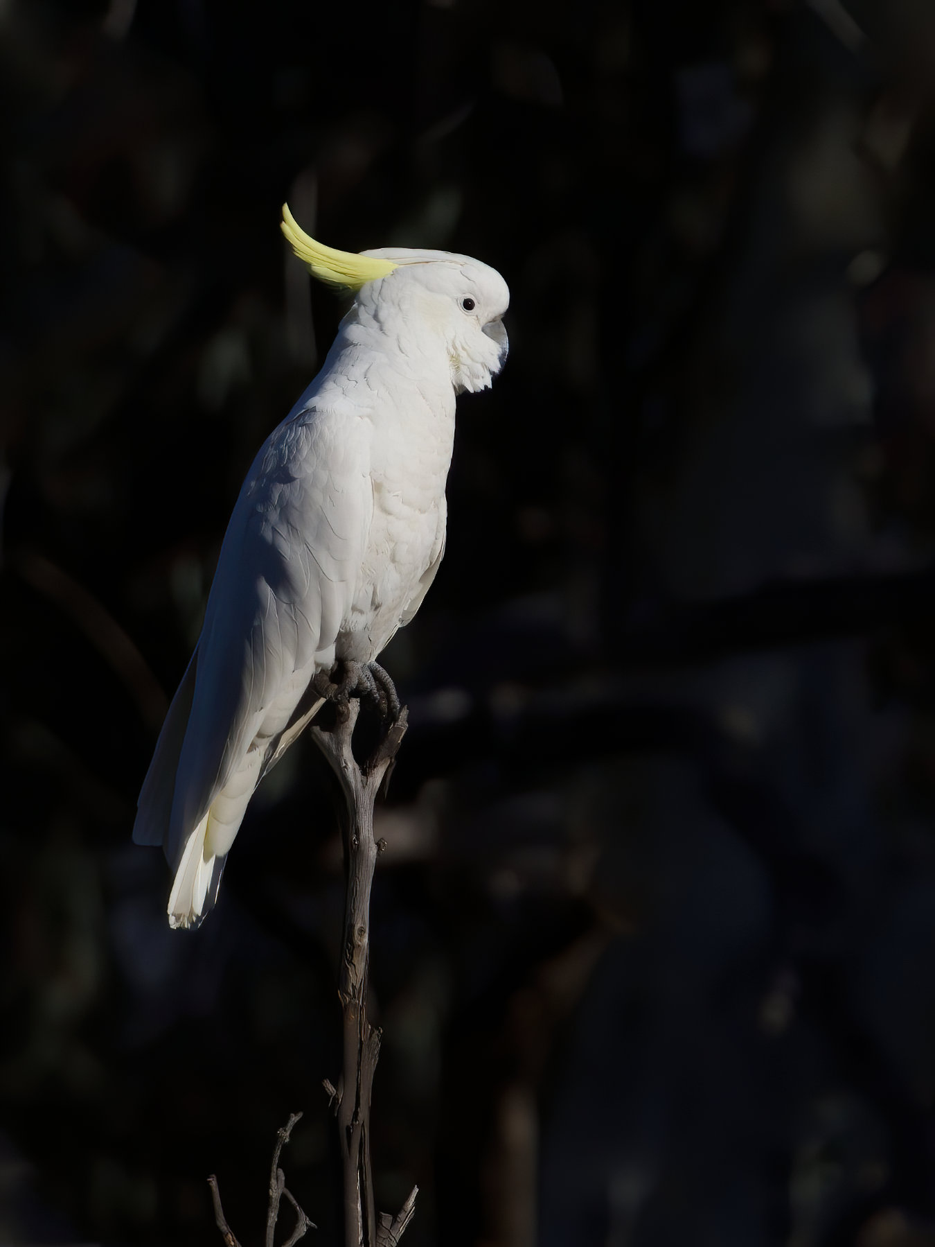 Sulphur-crested Cockatoo (Image ID 41135)