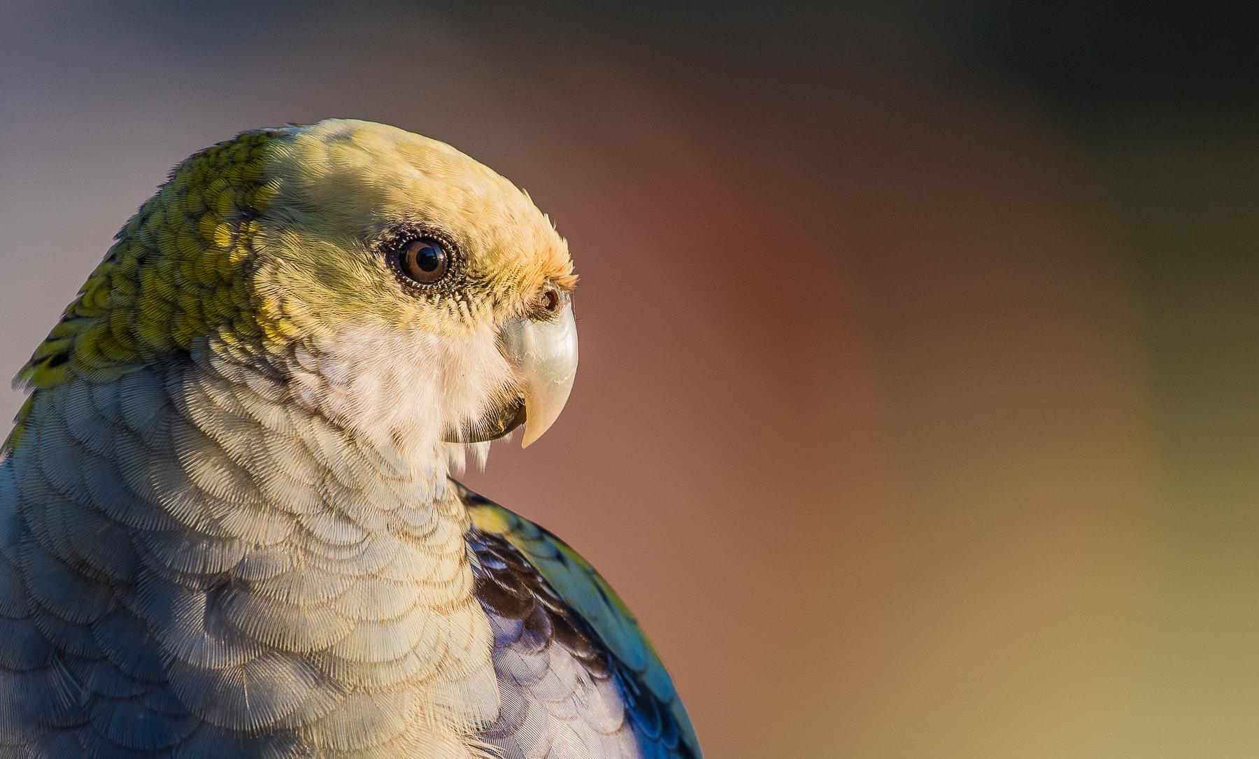 Pale-headed Rosella (Image ID 41150)