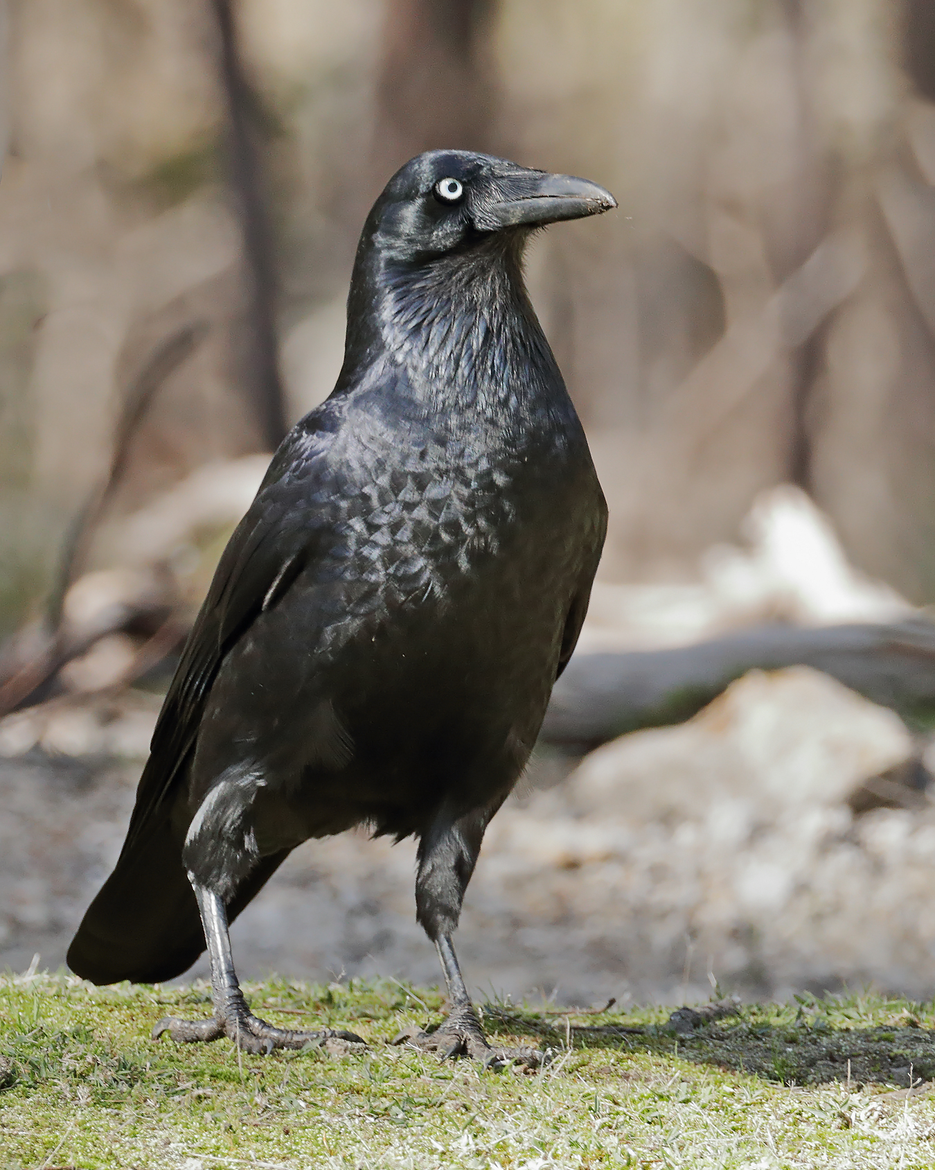 Forest Raven (Image ID 41374)