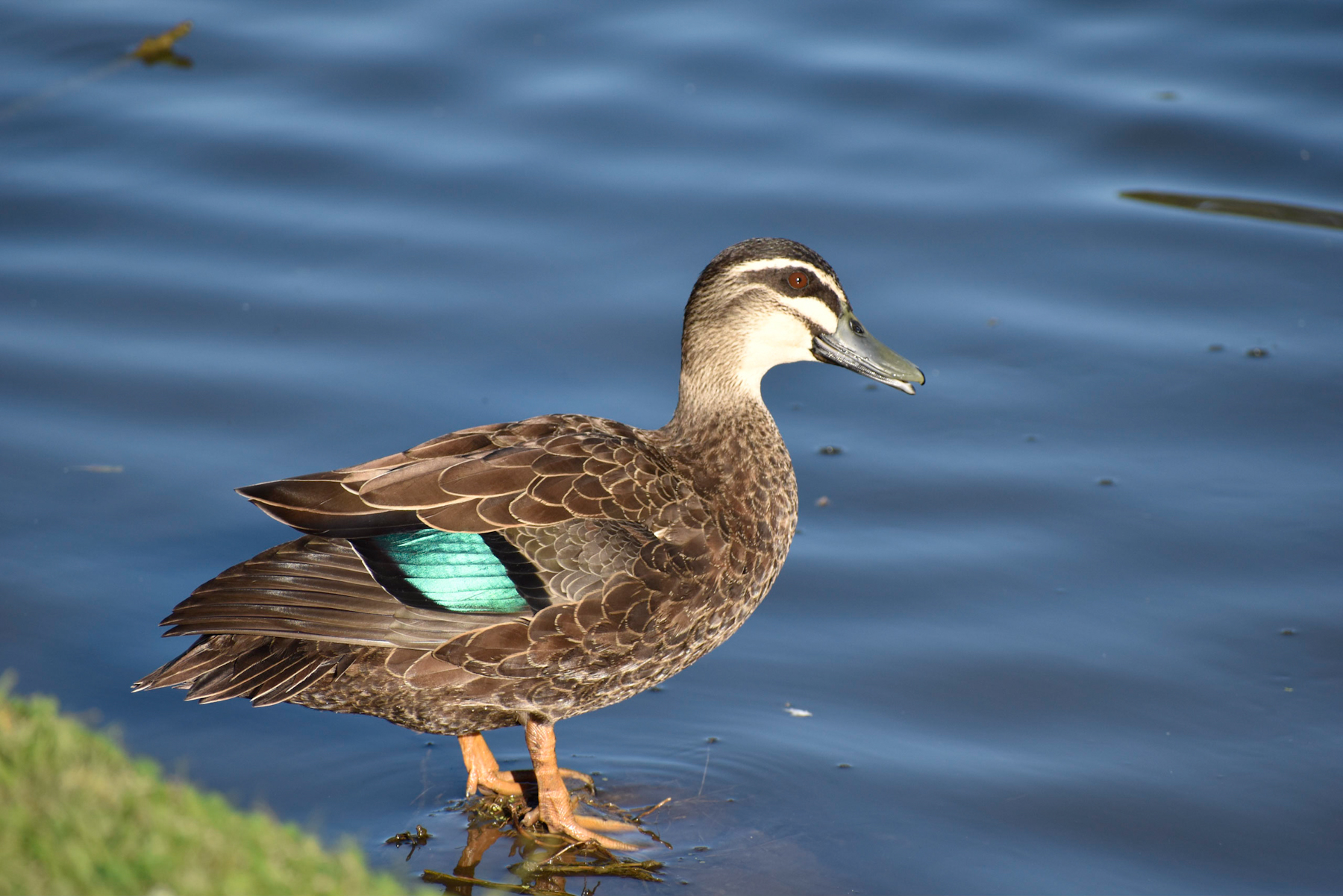 Pacific Black Duck (Image ID 41192)