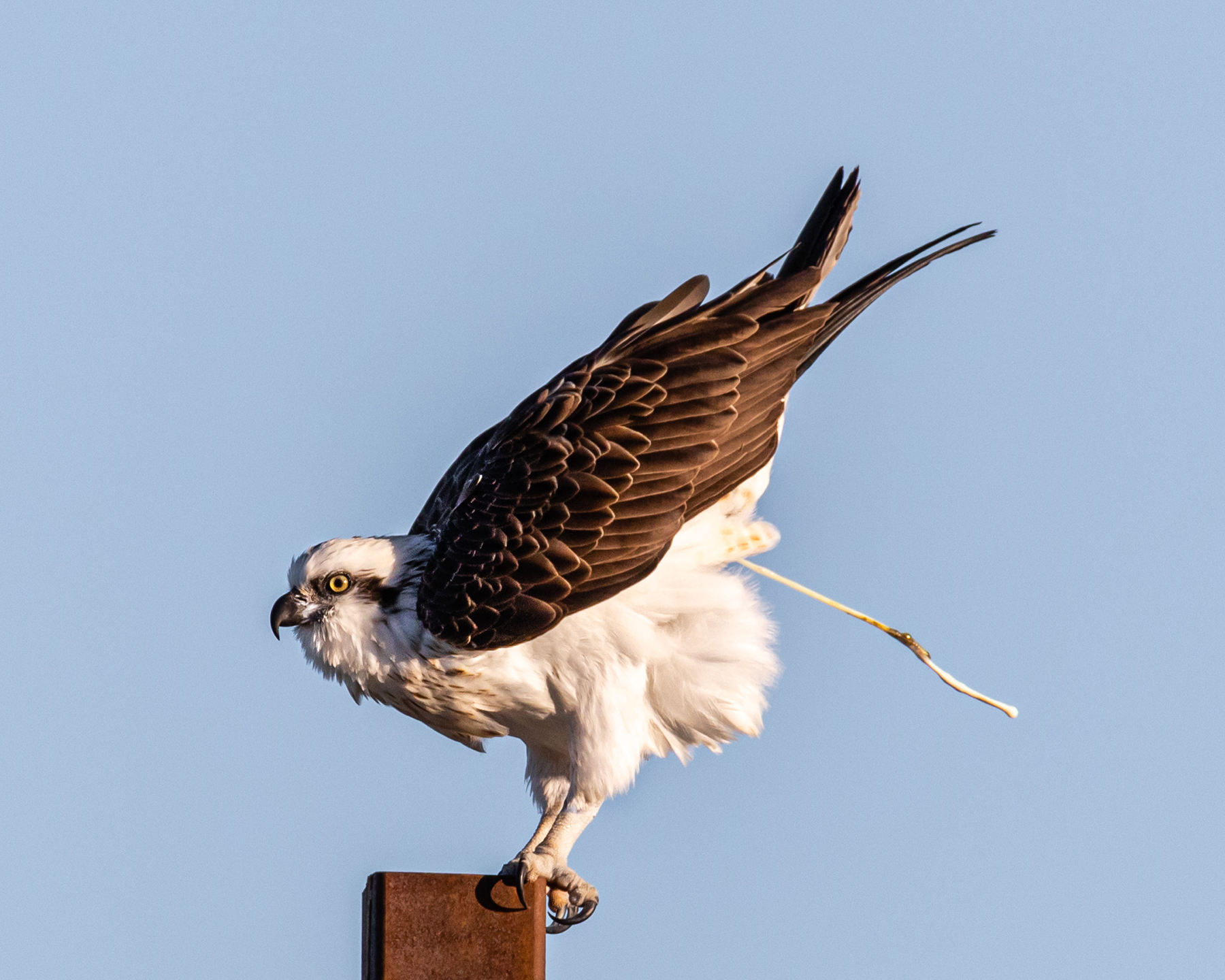 Osprey (Image ID 41185)