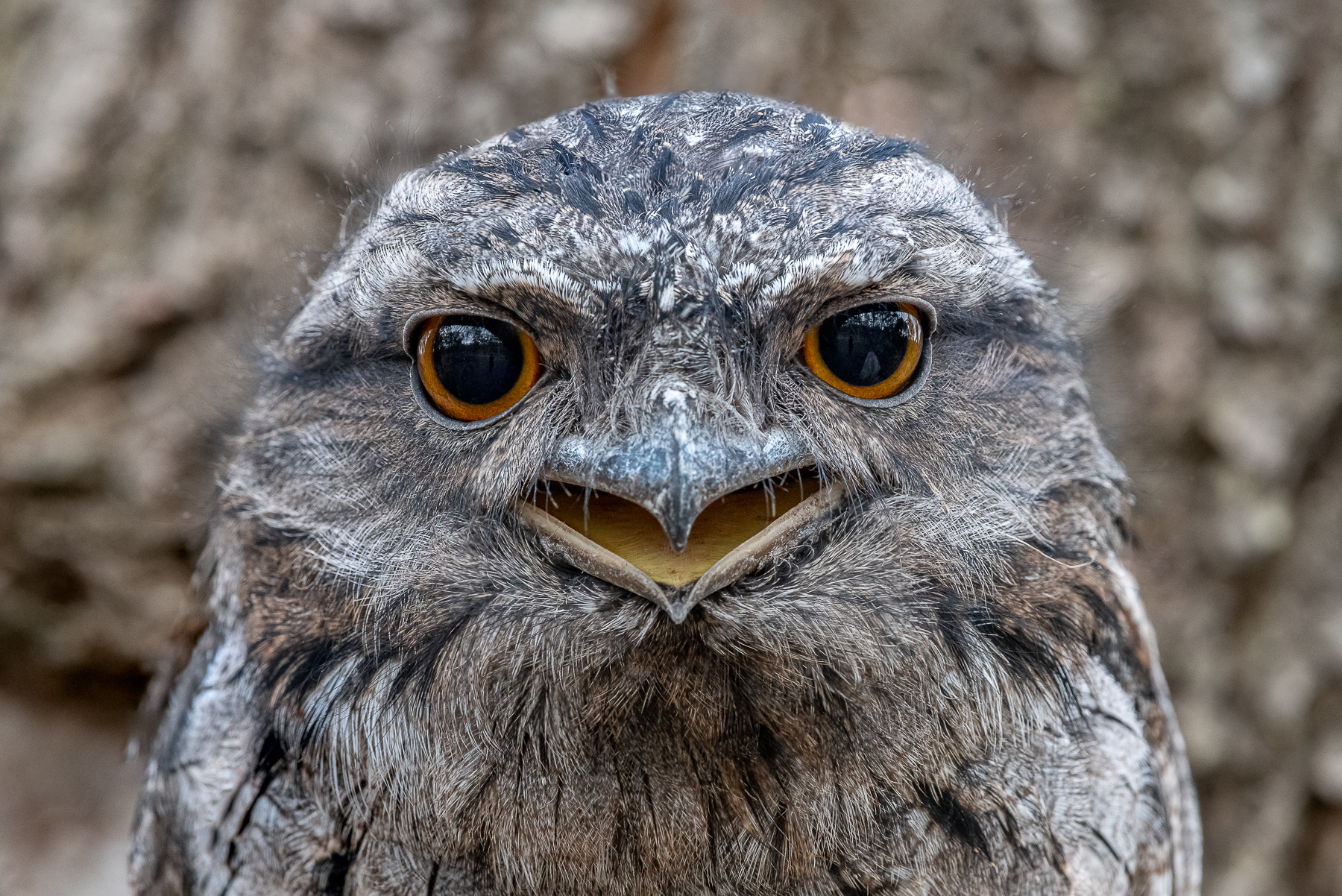 Tawny Frogmouth (Image ID 41569)