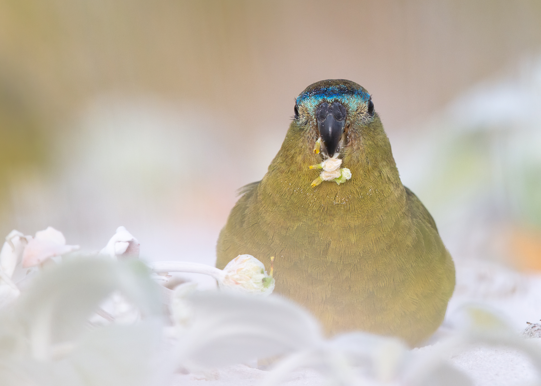 Rock Parrot (Image ID 41551)