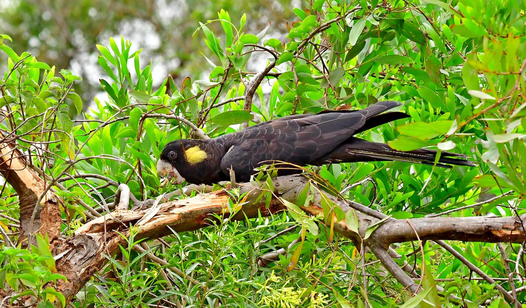 Yellow-tailed Black-Cockatoo (Image ID 41283)