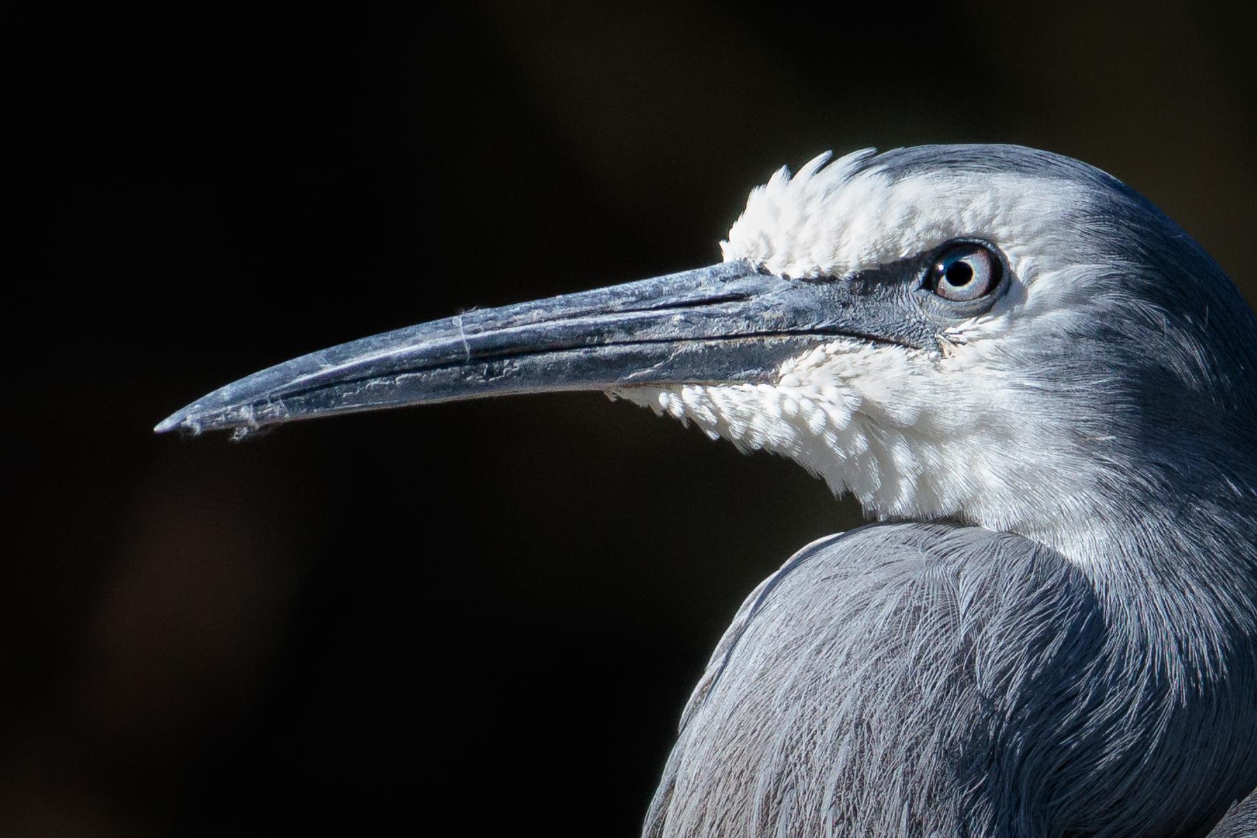 White-faced Heron (Image ID 41323)