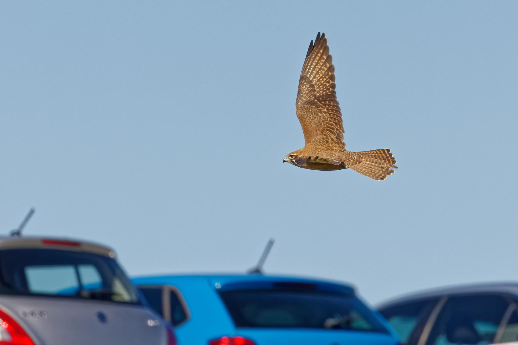 Brown Falcon (Image ID 41335)