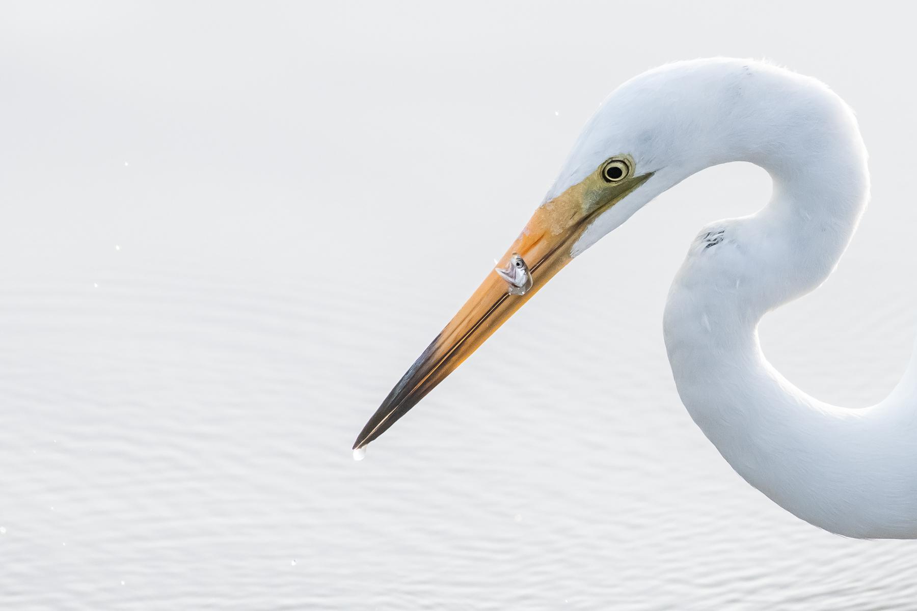 Great Egret (Image ID 41575)
