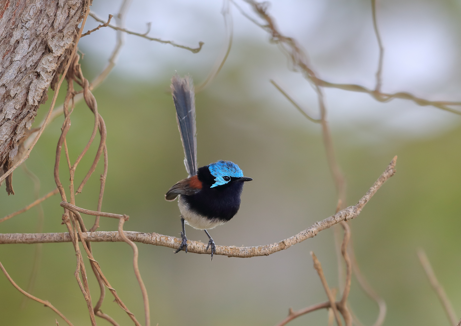 Red-winged Fairy-wren (Image ID 41527)