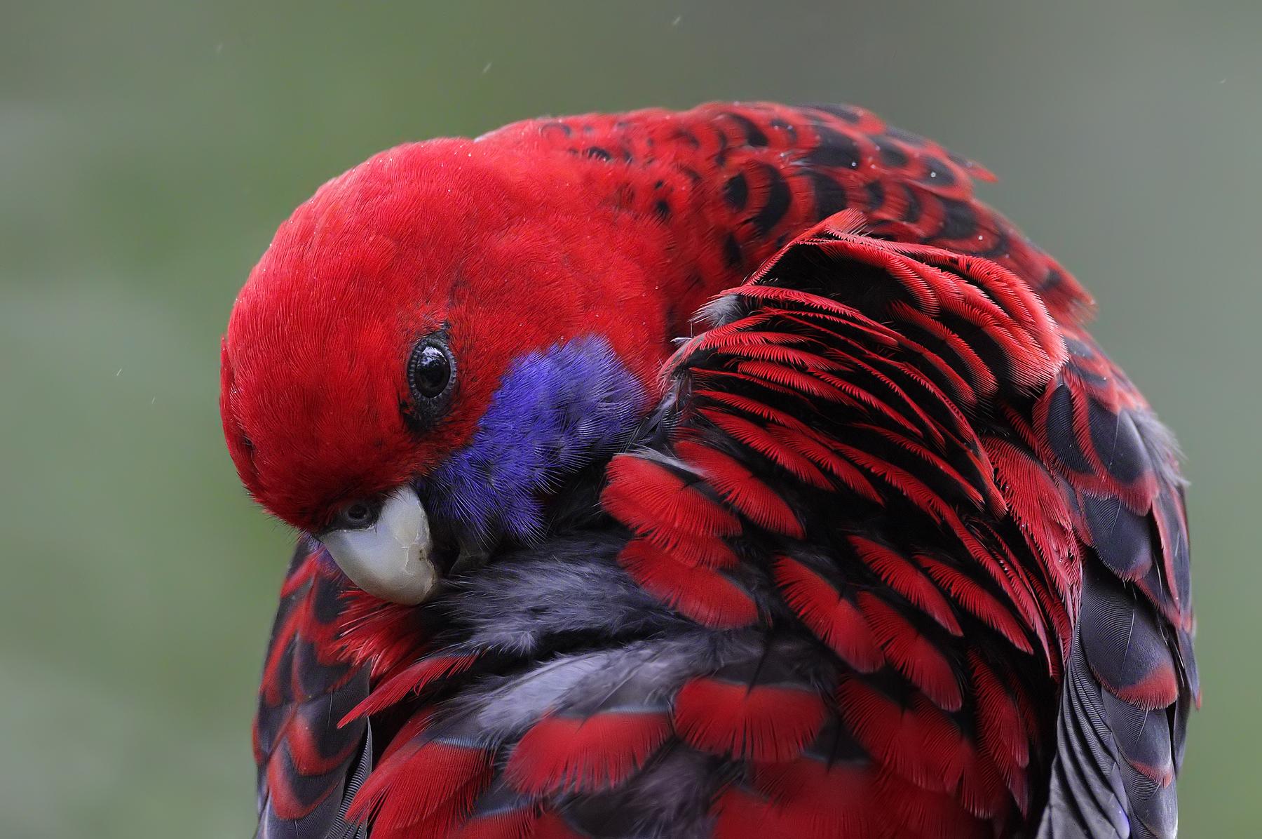 Crimson Rosella (Image ID 41350)