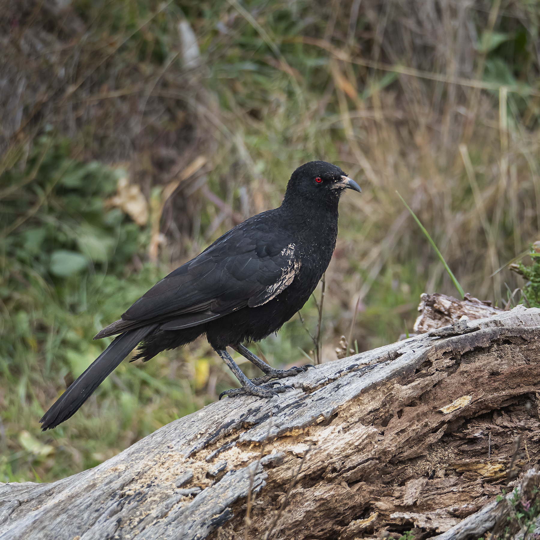 White-winged Chough (Image ID 41450)