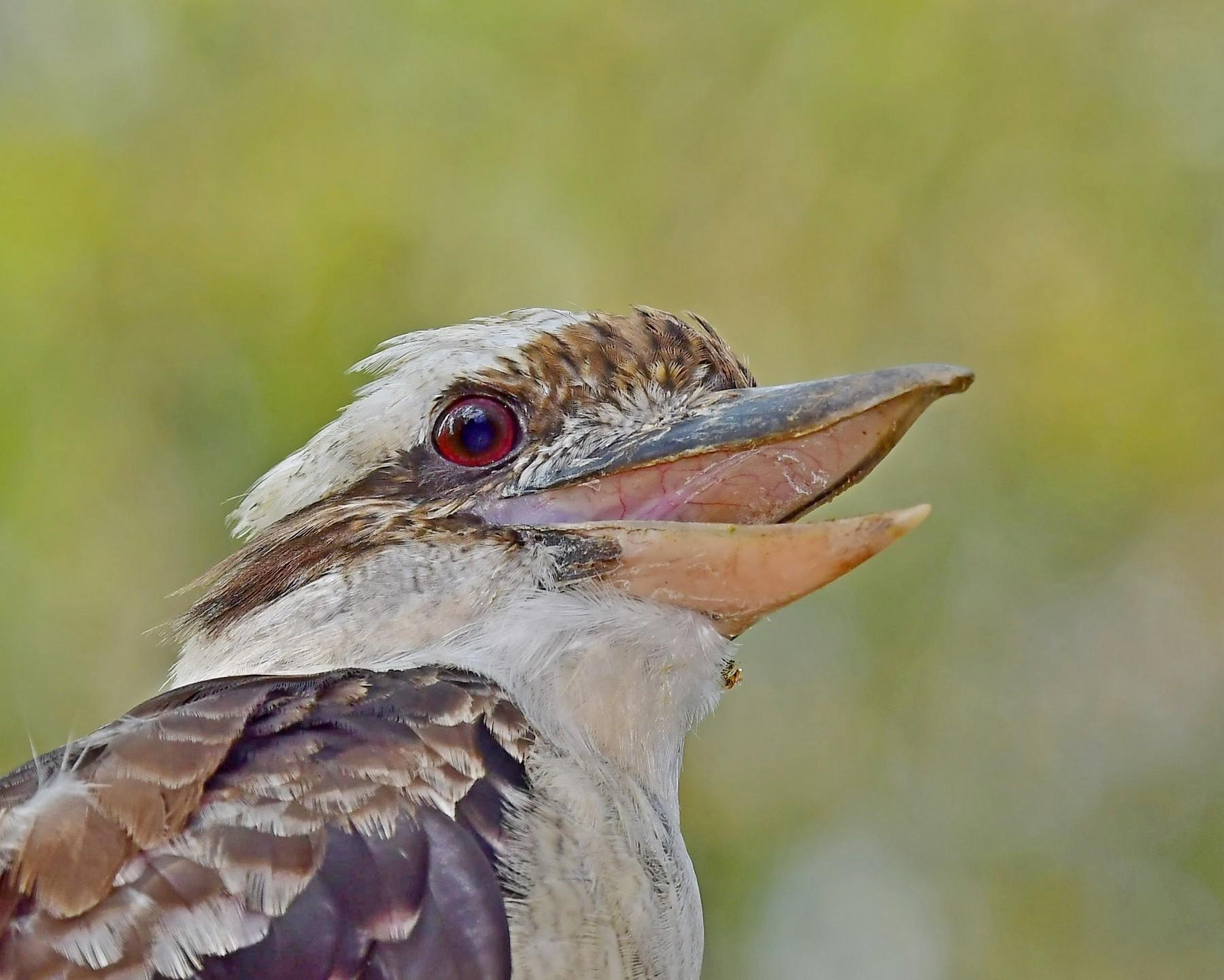 Laughing Kookaburra (Image ID 41338)