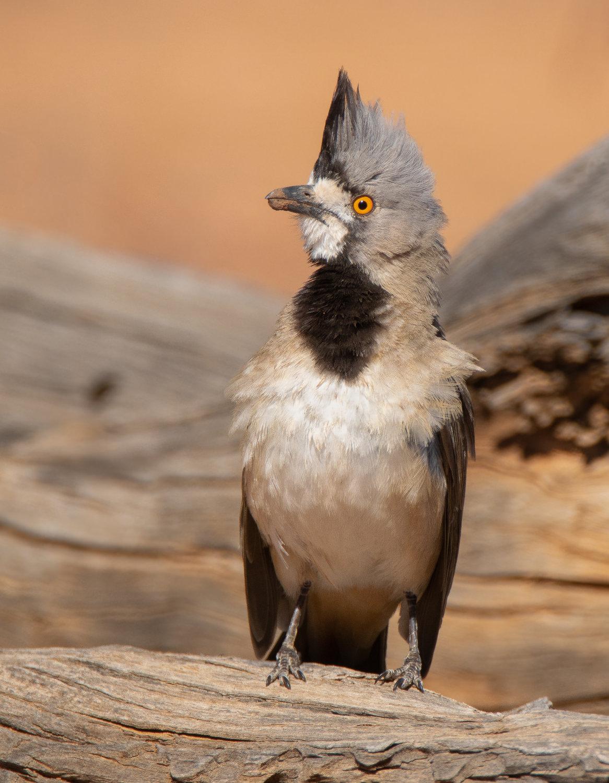 Crested Bellbird (Image ID 41198)