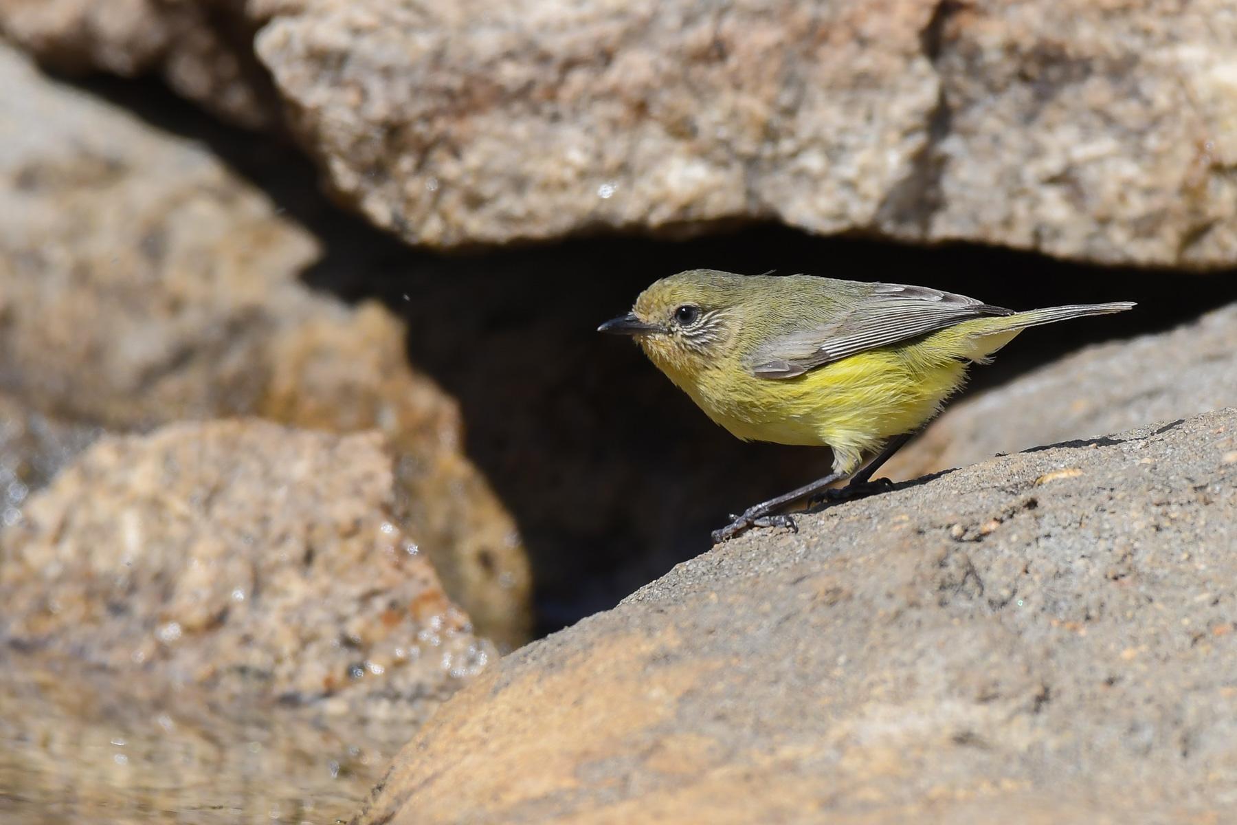 Yellow Thornbill (Image ID 41389)