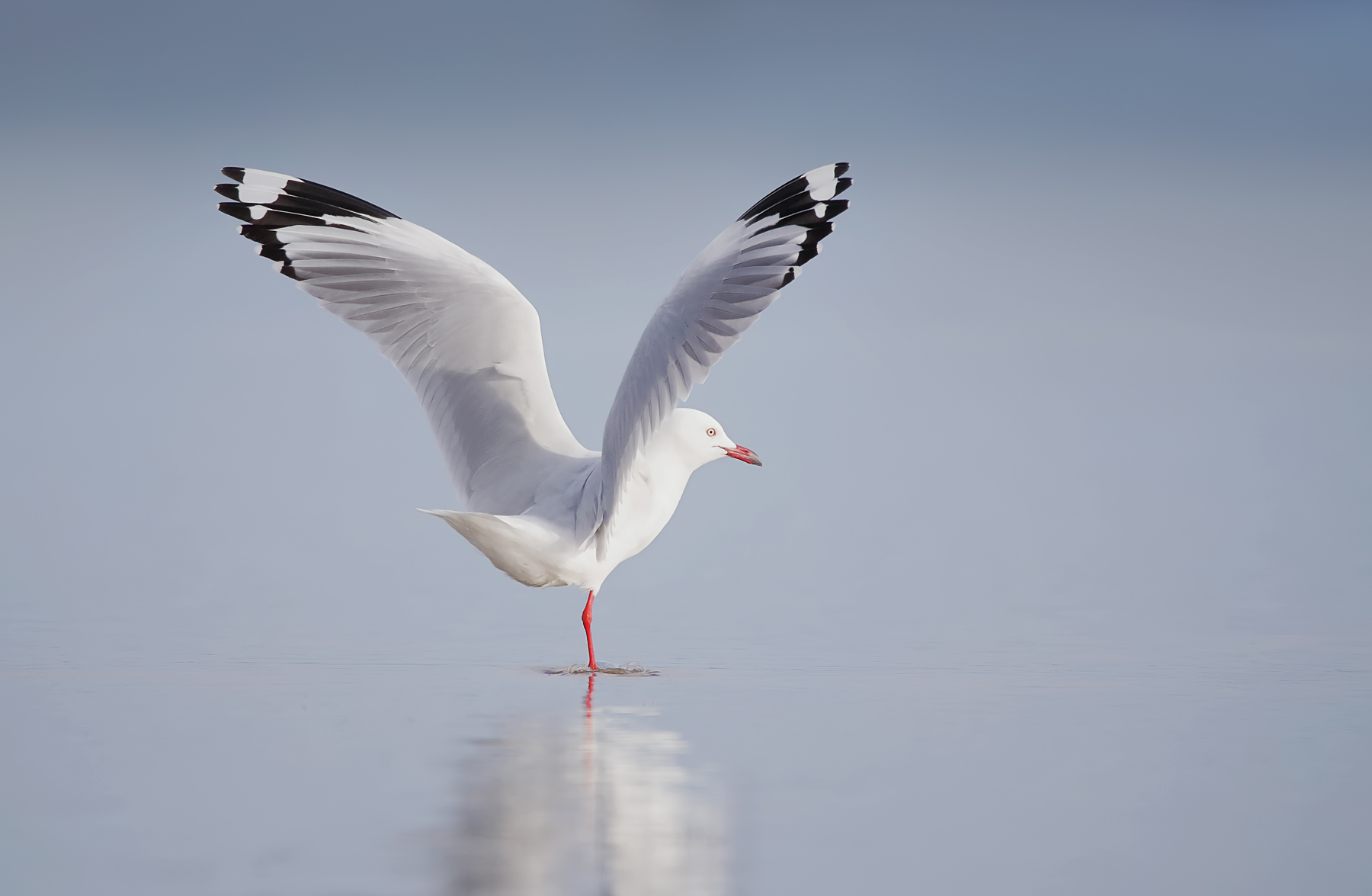 Silver Gull (Image ID 41459)