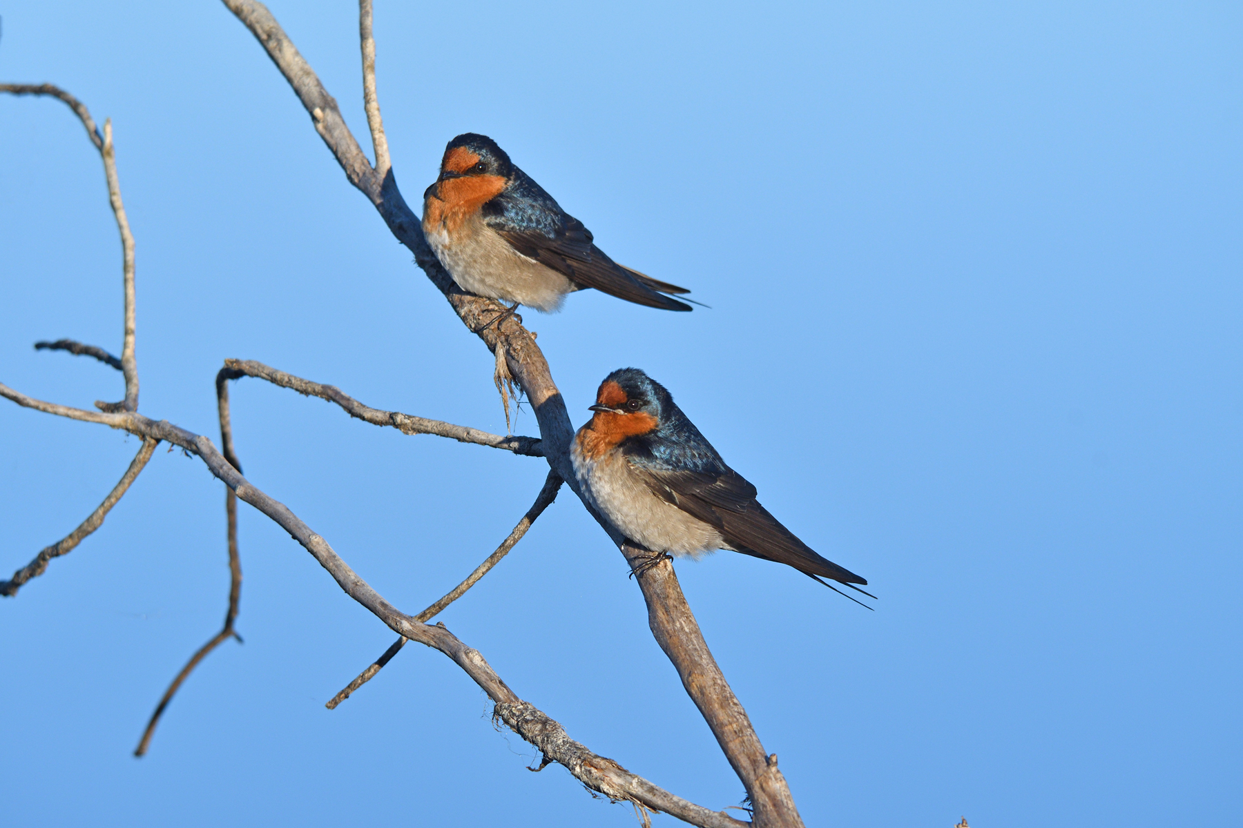 Welcome Swallow (Image ID 41168)