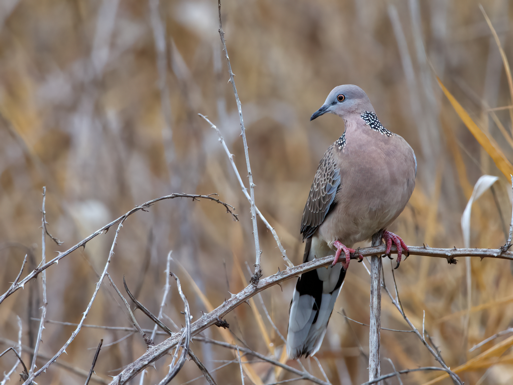 Spotted Dove (Image ID 41274)