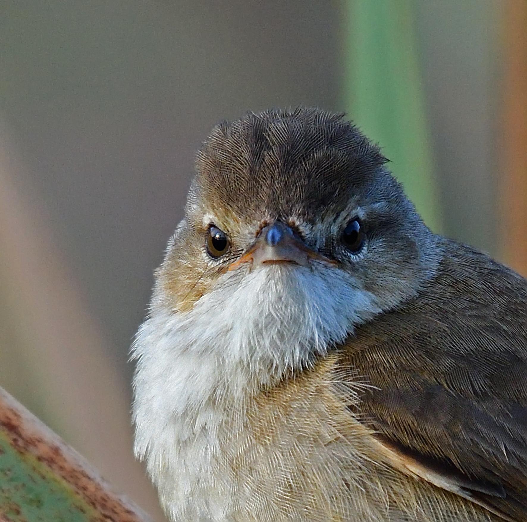 Australian Reed-Warbler (Image ID 41309)