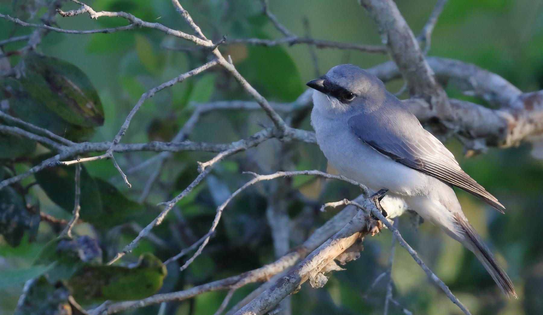 White-bellied Cuckoo-shrike (Image ID 41158)