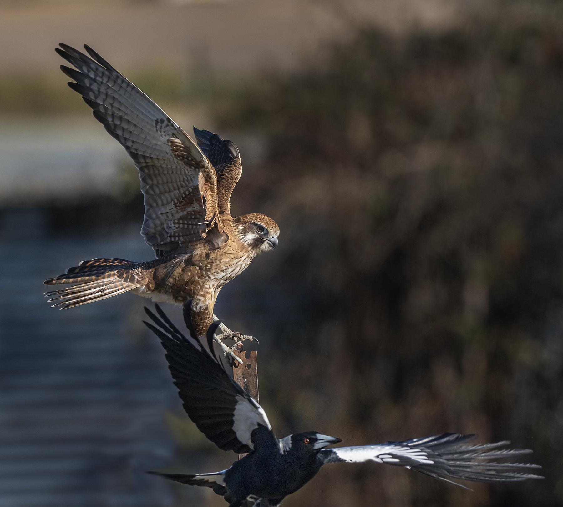 Brown Falcon (Image ID 41136)
