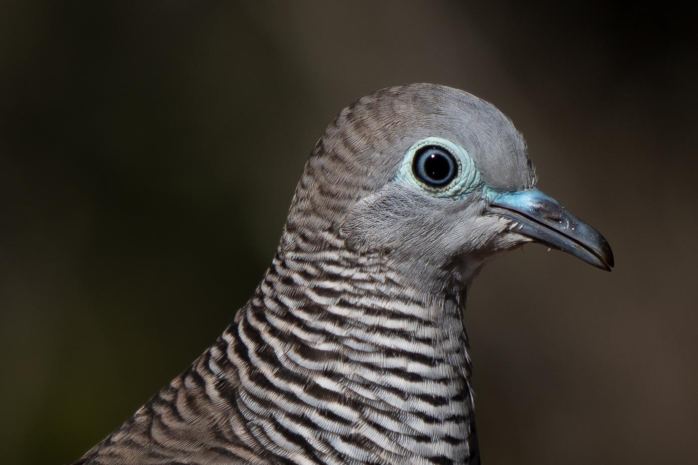 Peaceful Dove (Image ID 41358)