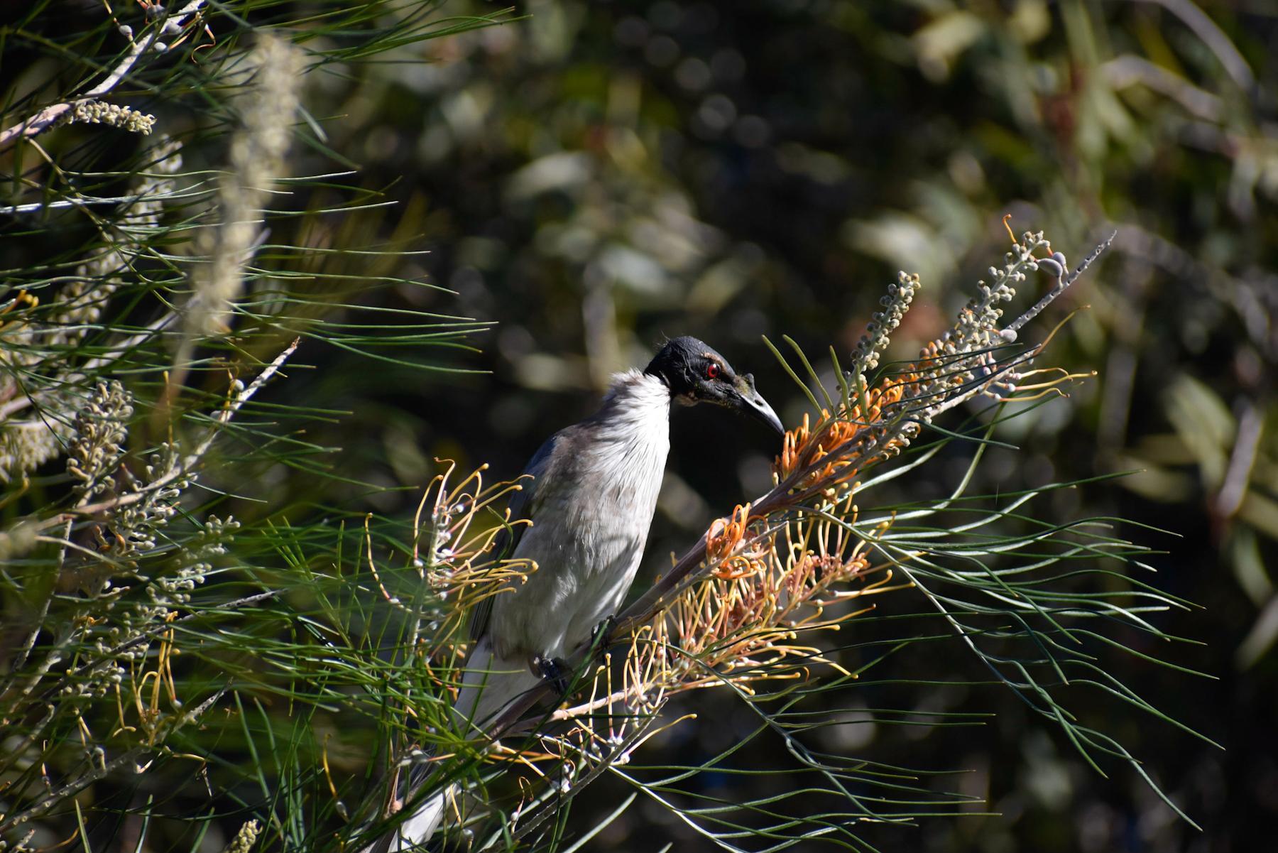 Noisy Friarbird (Image ID 41292)