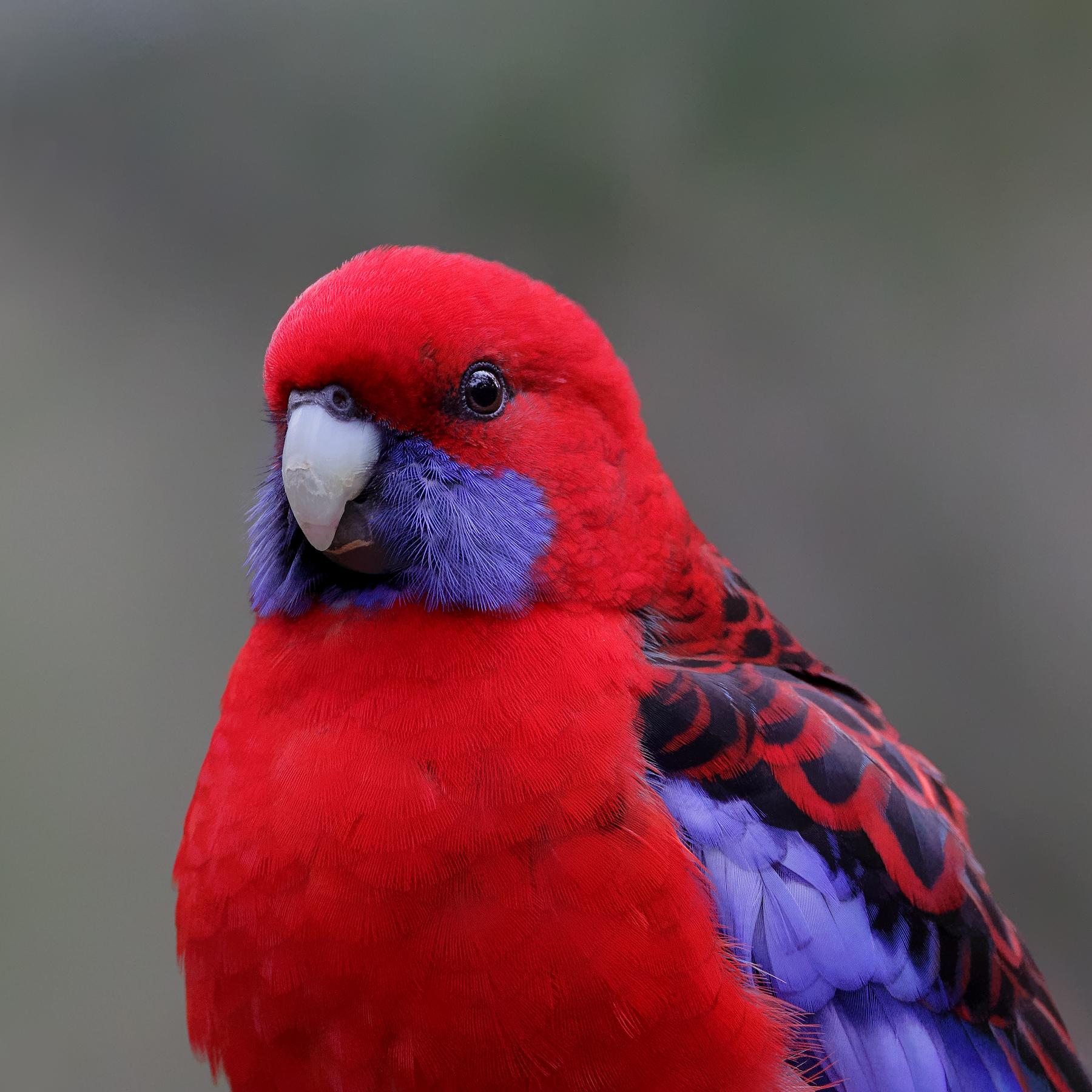 Crimson Rosella (Image ID 41574)