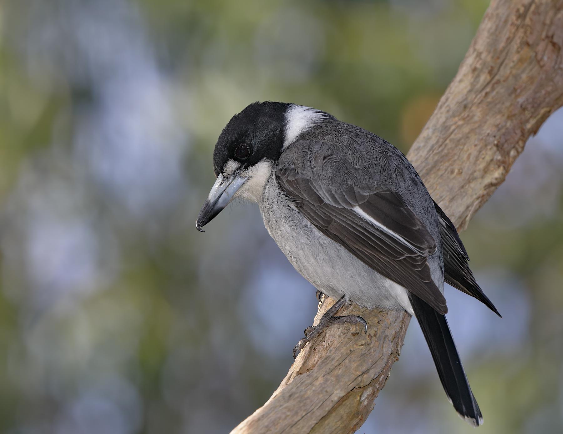Grey Butcherbird (Image ID 41343)
