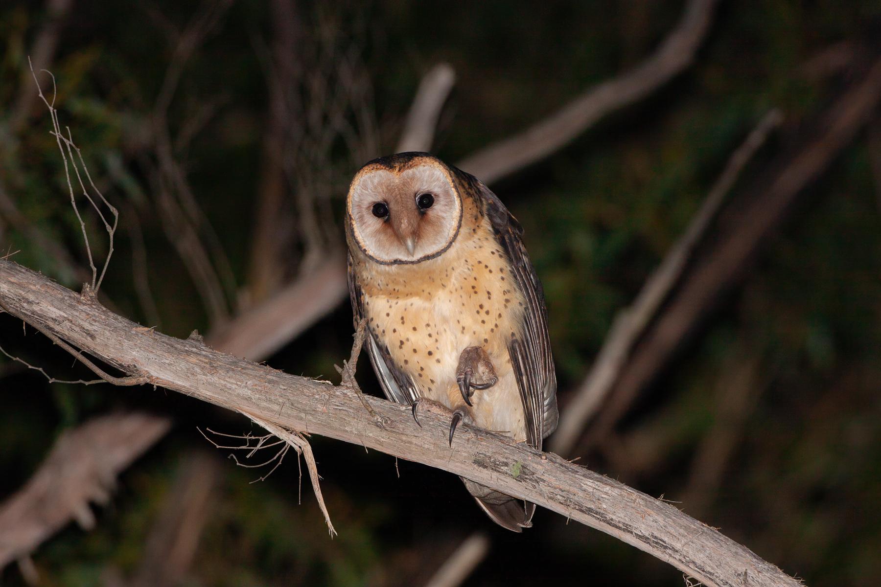 Masked Owl (Image ID 41099)