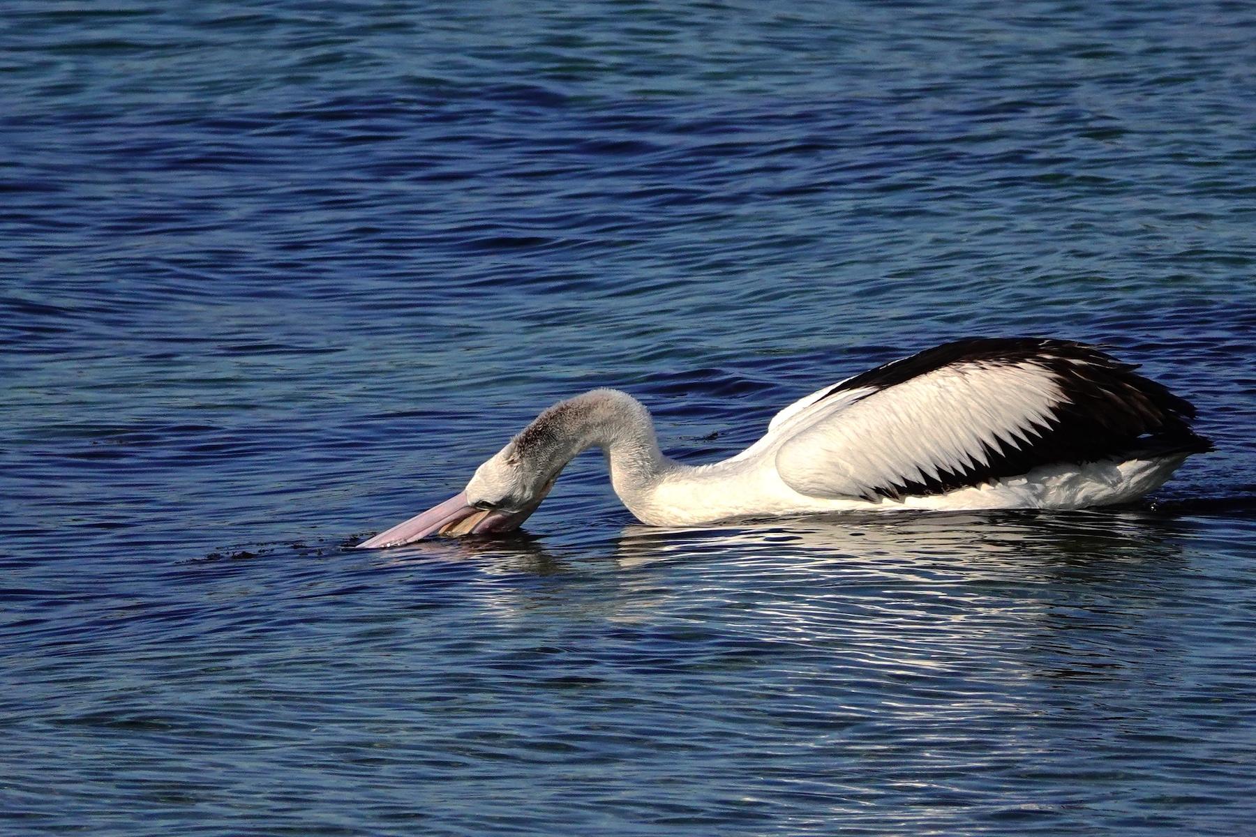 Australian Pelican (Image ID 41100)