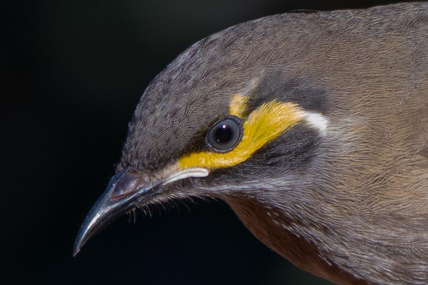 Yellow-faced Honeyeater (Image ID 41156)
