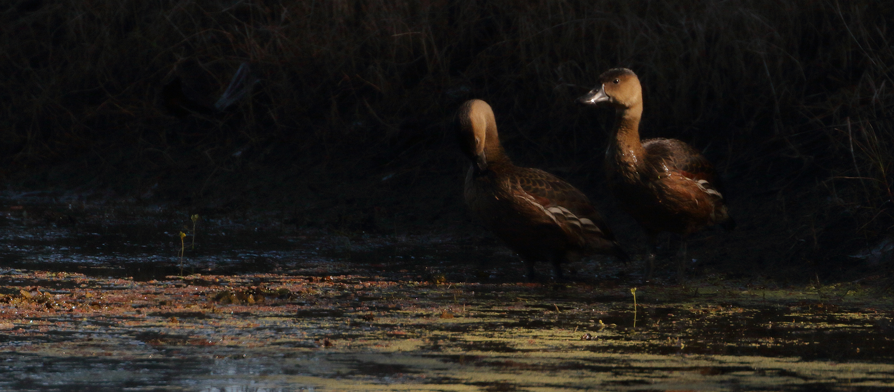 Wandering Whistling-Duck (Image ID 41178)