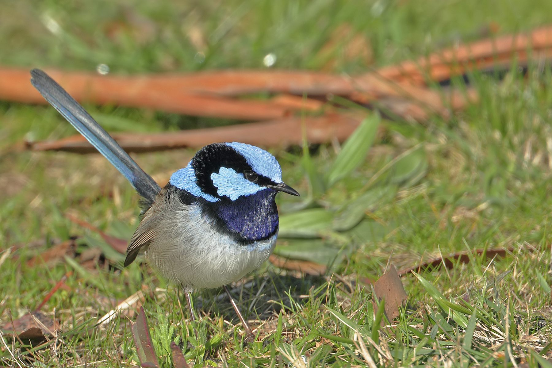 Superb Fairy-wren (Image ID 41344)